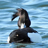 Mesmeric Tufted Duck (dugwin2) Tags: tufted duck looking mesmeric mysterious ibsley water hampshire