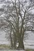 Am Südermoor - Schwarz-Erlen (Alnus glutinosa); Bergenhusen, Stapelholm (8) (Chironius) Tags: stapelholm bergenhusen schleswigholstein deutschland germany allemagne alemania germania германия niemcy morgen morning morgens matin schnee frost landwirtschaft baum bäume tree trees arbre дерево árbol arbres деревья árboles albero árvore ağaç boom träd morgendämmerung morgengrauen утро dämmerung rosids fabids buchenartige fagales birkengewächse betulaceae betuloideae alnus erle ольха alder aulne schwarzerle aliso alno ontano amieiro kızılağaç els alnusglutinosa