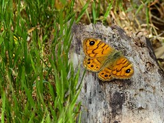 Wall Brown (Lasiommata megera) (Nick Dobbs) Tags: wall brown lasiommata megera butterfly malta insect