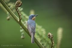 Leaden Flycatcher (Myiagra rubecula) (Mickspixx) Tags: leadenflycatcher myiagrarubecula eungella flycatcher