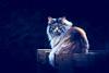 Blue Hour (matthiasstiefel) Tags: cat tomcat kater katze