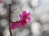 Japanese apricot blossoms (Prunus mume, 梅) (Greg Peterson in Japan) Tags: shiga japan plants 植物 plumblossoms flowers 梅 野洲市 花 滋賀県 yasu shigaprefecture