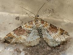 Xanthorhoe spadicearia - Red twin-spot carpet - Ларенция коричневая (Cossus) Tags: geometridae larentiinae xanthorhoe пяденица 2009 фенёво