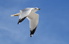 Ring-billed Gull (Larus delawarensis);  Englewood Beach, FL [Lou Feltz] (deserttoad) Tags: bird wildbird wildlife water nature beach gull animal florida behavior