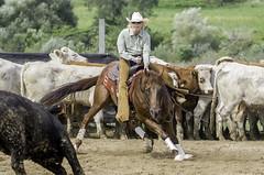 September 1 2006 - Paris Fair Cutting 1. (dc2photo) Tags: ncha ocha cow cutting cuttinghorse equine horse sport top25 western