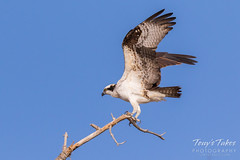 Male Osprey landing sequence - 17 of 28