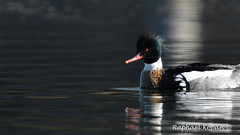 Red Breasted Mergansers diving (RKop) Tags: d500 nikkor600f4evr gif californiawoodspark cincinnati ohio raphaelkopanphotography