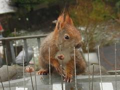 """Gar kein schönes Wetter heute ... (flixx-ak) Tags: flixxakoffenbachammainhessen deutschland germany """"anvormeinemfenster"""" eichhörnchen squirrel 2018 r0024525 explore"""