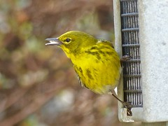 Love My Suet! (WRFred) Tags: bird backyardwildlife nature feeder maryland montgomerycounty wildlife warbler