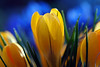 Colors of spring... (ej - light spectrum) Tags: flowers blumen spring frühling season jahreszeit märz march olympus omd em5markii macro makro nature natur schweiz switzerland primavera colorful farbig crocus krokus bokeh