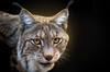 Lynx (mad_airbrush) Tags: 5d 5dmarkiii 135mm ef135mmf2lusm f2 lynx luchs animal tier katze raubkatze cat wildlife wildfütterung wildfütterungmoritzburg ps gaupe