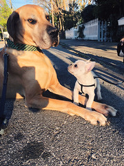 81/365 (moke076) Tags: 2018 365 project 365project project365 oneaday photoaday iphone cell cellphone mobile great dane dog animal pet big little tiny puppy french bulldog frenchie pup moose meeting friends huge bigmeetslittle