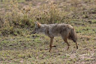 African Golden Wolf