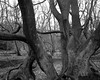 Ancient Beech another view (Hyons Wood) (Jonathan Carr) Tags: ancient woodland rural northeast landscape abstract black white bw monochrome largeformat 4x5 5x4 toyo45a tree trees