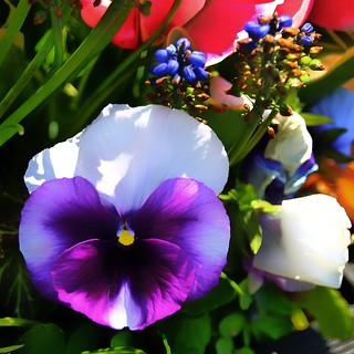 Sonnenberg Gardens & Mansion Historic Park ~ Canandaigua NY  -  Pansy Flowers