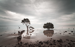 Mangroves Tenby Point (laurie.g.w) Tags: mangroves tenbypoint westernportbay victoria shoreline tree samyang14mm