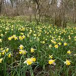 Narcisse jaune IV