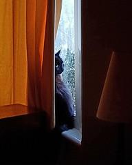 On Look Out! (ohange2008) Tags: windowsill curtain wilko longhairedblackcat