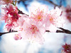 P1310884 cherry blossom (touchinming) Tags: cherryblossom sakura flower