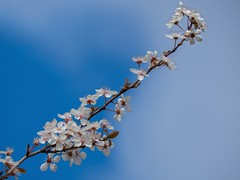 Spring Is In The Air...... (klythawk) Tags: blackthornblossom prunusspinosa springtime nature flowers bluesky clouds blue white brown red olympus omd em1mkll 100400mm panasonic attenboroughnaturereserve wildlifetrust nottingham klythawk