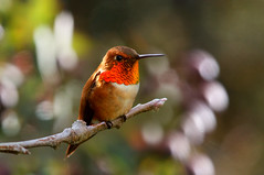 Rufous hummingbird (Thy Photography) Tags: rufoushummingbird hummingbird california animal backyard photography outdoor nature nectar flowers wildlife