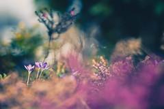 Spring Bokeh (michel1276) Tags: zuiko zuiko18028 olympus oldlens manualfocus vintagelens bokeh bokehlicious bokehful bokehlove flowers flora blumen frühling spring