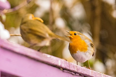 Robin Lunchtime Bicker #BeakWatch (SLHPhotography1990) Tags: robin garden bird nature native british wild wildlife beakwatch rspb pair double trouble argue argument bicker food feeding