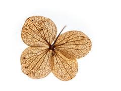 fragile (++sepp++) Tags: hydrangeaaspera hortensie trockenblume tabletop highkey dryflower blüte blossom makro macro macroshot makroaufnahme closeup nahaufnahme gegenlicht backlight backlit