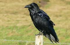 Raven -Corvus corax - Dorset coast -100118 (22) (ailognom2005) Tags: raven corvuscorax dorset bird birds dorsetwildlife