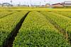 Growning Tea (sibnet2000) Tags: japan tea teafarm canon5dmarkiv