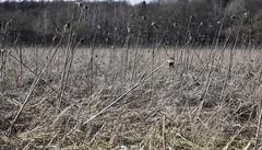 Vorjähriges Blühfeld mit alten Sonnenblumen; Bergenhusen, Stapelholm (3) (Chironius) Tags: stapelholm bergenhusen schleswigholstein deutschland germany allemagne alemania germania германия niemcy asterids campanuliids asternartige asterales korbblütler asteraceae asteroideae heliantheae sonnenblumen helianthus