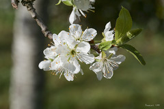 P1007394_b (daniellelallemand) Tags: printemps prunier fleurs blossom