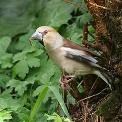 P1007747_b (daniellelallemand) Tags: grosbec oiseaux lumixg9