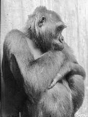 Deep in Thought (Shawn Blanchard) Tags: animal black white bw blackandwhite gorilla pose deep thought