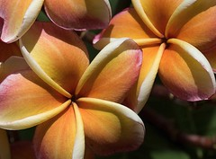 Plumeria (Steve4343) Tags: steve4343 nikon d70 red green blue yellow orange white clouds sky beautiful autumn beauty county lake cloud colorful woods garden gardens happy leaves rocks wildlife landscape mountain tree trees grass water wood forest bangkok thailand plumeria