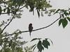 Aethopyga siparaja (dhobern) Tags: 2018 china march xtbg xishuangbanna yunnan aves passeriformes nectariniidae aethopygasiparaja