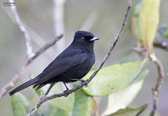 Velvety Black-Tyrant (Knipolegus nigerrimus)