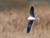 Little Gull (redmanian) Tags: littlegull gull bird scarce ianredman