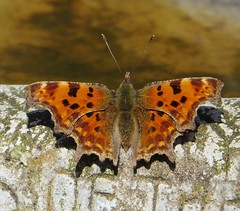 GB 1 (d p hughes) Tags: comma polygoniacalbum butterflies bugs insects nature wildlife outdoor colour crewe cheshire