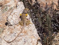 Sonoran Collared Lizard (Scrambler27) Tags: scrambler27 lizard reptile animal nature rocks ferns desert tucson crotaphytus yellowlegs collaredlizard