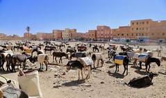Donkey Parking (Alex L'aventurier,) Tags: rissani maroc morocco city ville ânes donkeys parking stationnement urbain urban animal buildings houses maisons sky ciel bleu blue palm palmier souk market marché