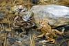 Mediterranean toad Bufo spinosus (Matthieu Berroneau) Tags: aquitaine régionaquitaine sonya7ii sonya7mk2 sonyalpha7mark2 sonyalpha7ii a7ii 7ii 7mk2 sonyilce7m2 animal animaux fe 90 f28 g oss fe90f28macrogoss sonyfesonyfe2890macrogoss objectifsony90mmf28macrofe sel90m28g amphibian amphibia amphibien tail less amphibians common toad bufo sapo común herpéto herpeto crapaud commun anura tailless wildlife closeup varliagyviai gironde apo arrunta épineux mediterranean ff 24x36 full frame bufobufo bufobufospinosus bufospinosus crapaudcommun crapaudépineux mediterraneancommontoad commontoad spinosus ponte oeuf reproduction eggs egg clutch amplexus
