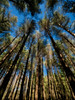 Straight and tall (Colin-47) Tags: pines trees tall straight spring bluesky foliage forest woodland norfolk april 2018 colin47 panasonicdmcg80 laowa75mmf2 ultrawide nature