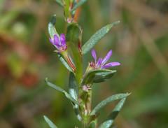 Lythrum hyssopifolia (Boobook48) Tags: lythraceae lythrumhyssopifolia smallloosestrife victoria homerton australia taxonomy:binomial=lythrumhyssopifolia