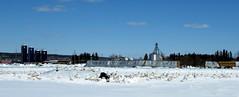 Safe haven on migration (diffuse) Tags: vanderhoof swans trumpeterswan goose canadagoose farm snow migration