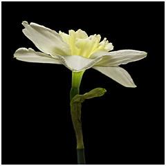 Easter Daffodil (GaryJohn) Tags: pentaxk5 pentaxlimitedlens daffodil stilllife hd70mmlimited flower light pale pastelcolours