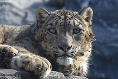 Snowleopard - Pairi Daiza (Mandenno photography) Tags: animal animals belgie belgium bigcat big cat snow leopard snowleopard leopards ngc nature pairi pairidaiza daiza
