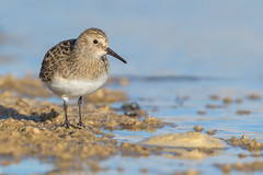 Baird's Sandpiper (Amy Hudechek Photography) Tags: shorebird sandpiper migration colorado nikond500 nikon600mmf4 amyhudechek nature wildlife lake spring bairdssandpiper