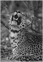 Sri Lankan Leopard (Shanaka Kalubowila) Tags: sri lankan leopard panthera pardus kotiya wilpattu national park lanka shanaka aravinda kalubowila asian asia amazing life photography paradise outdoor island inside tour travel trip touring rare badgerr beautiful honey heaven holiday ceylon camp green grass jungle jeep forest low buy safari sand wildlife watching wild wilderness evening young nature nikon nikkor afs 300mm f28g vrii sell animal d500 mammal field landscape tree giraffe