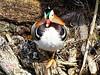 Portrait en face (Jurek.P) Tags: birds bird mandarinduck park kępapotocka warsaw warszawa poland polska jurekp sonya77